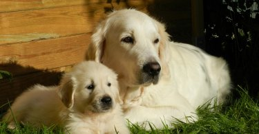 Blind Golden Retriever Gets a 'Seeing Eye' Puppy to Help Him Out