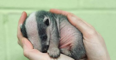 Youngest Badger Ever Rescued by Scottish SPCA